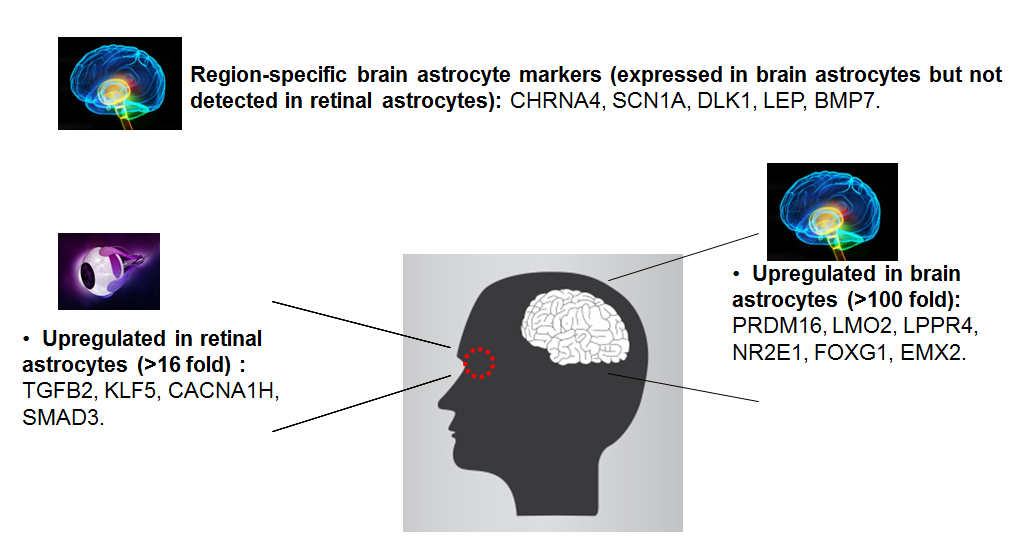 Figure 2. Preliminary results acquired by comparison of human brain astrocytes and human retinal astrocytes using GeneQuery™ Astrocyte Cell Biology Kit (Cat# GK009).